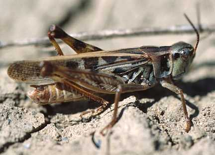 Clear-winged Grasshopper