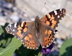 Admirals, Anglewings & Checkerspots