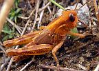 Bruner's Spur-throated Grasshopper