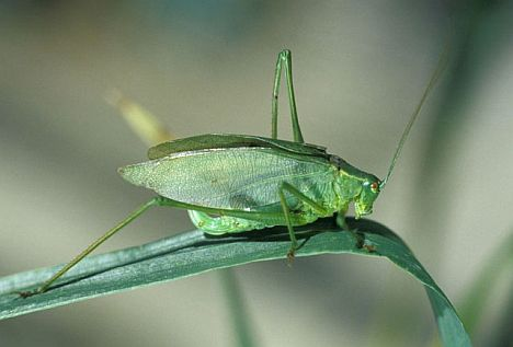 Broad-Winged Katydid