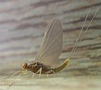 Small Mayfly