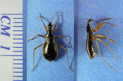 Assassin Bug - note oval body shape, 3 segmented beak, 4 segmented antennae and narrow head.