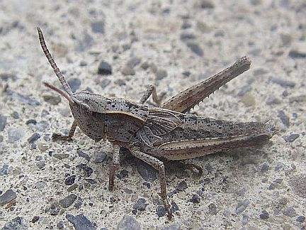 Cow Grasshopper - 5th Instar
