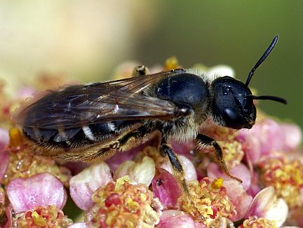 Polymorphic Sweat Bee