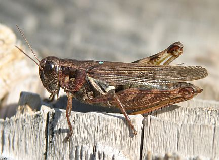 Bruner's Spur-throated Grasshopper - adult