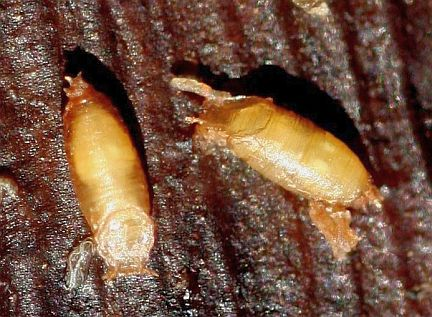Fruit Fly Pupa